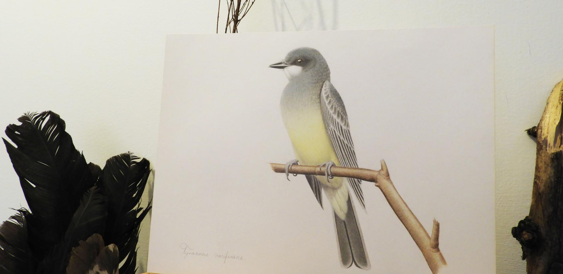 Tirano Chibiú | Cassin's Kingbird