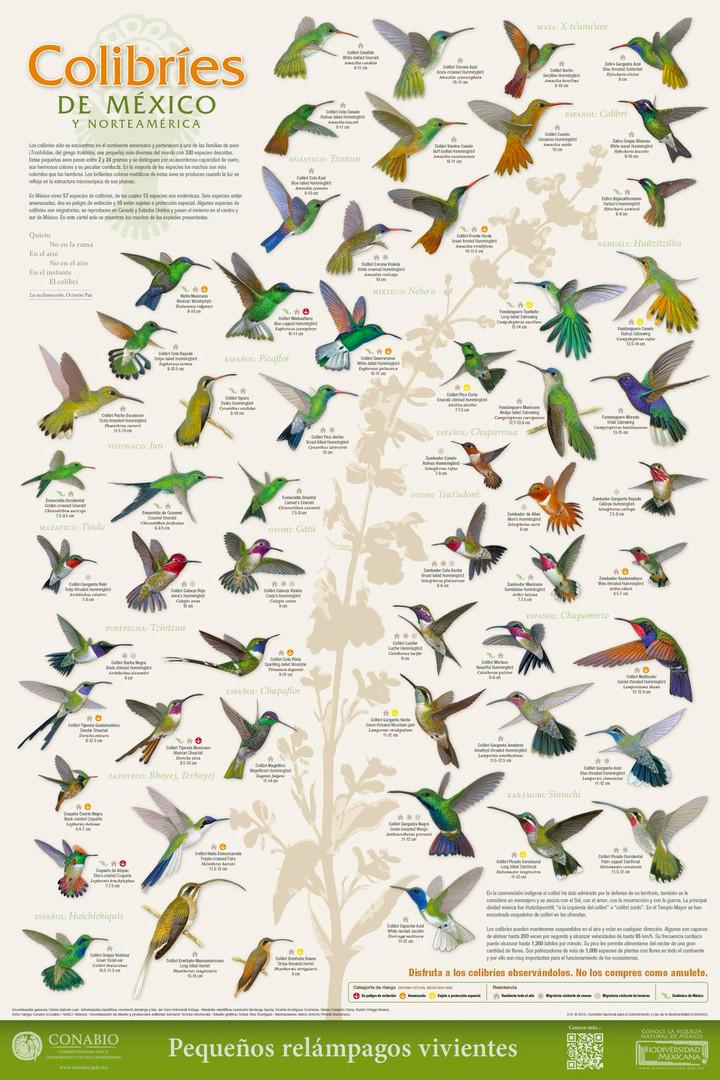Cartel: Colibríes   Poster: Hummingbirds