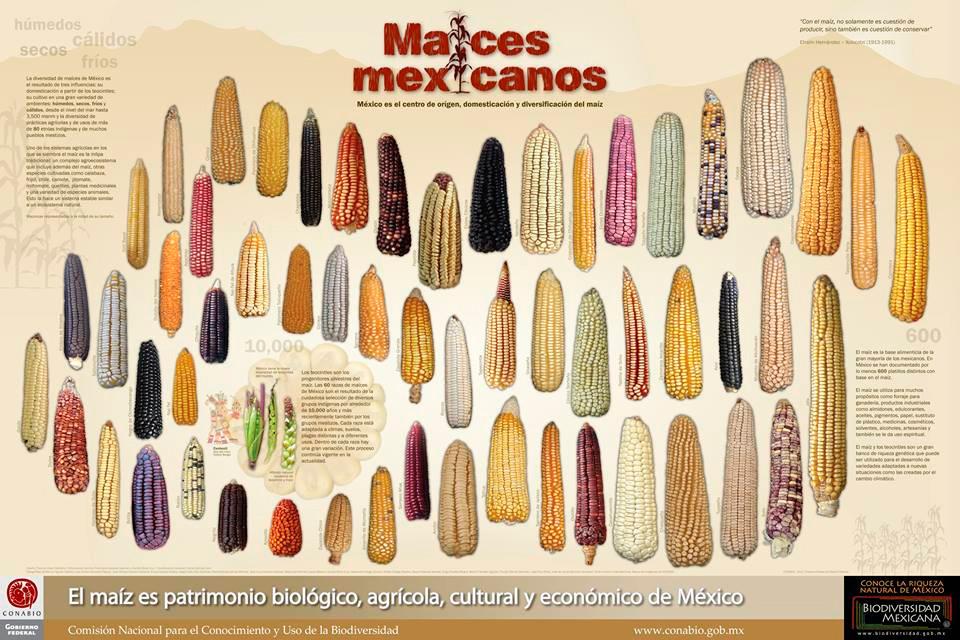 Cartel: Maíces   Poster: Corns