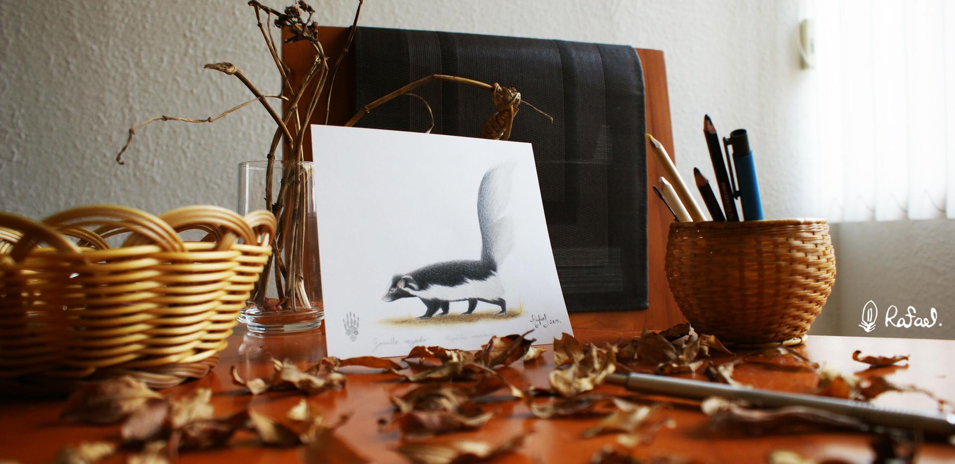 Zorrillo Rayado | Hooded Skunk