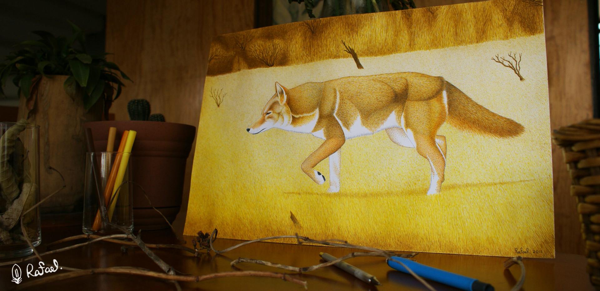 Coyote | Coyote