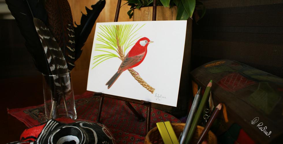 Chipe Rojo | Red Warbler
