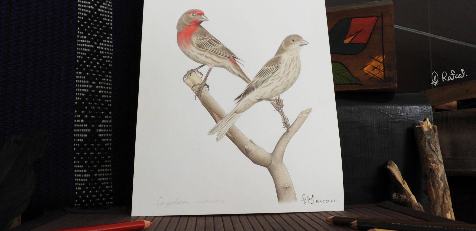 Pinzón Mexicano | House Finch