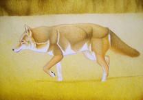 Obra concursante: Coyote (Canis latrans)