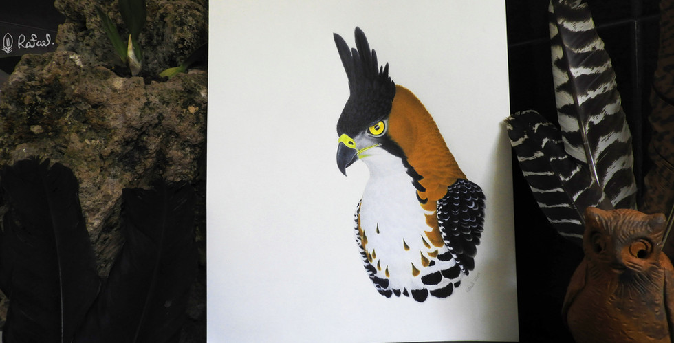 Águila Elegante | Ornate Hawk-Eagle