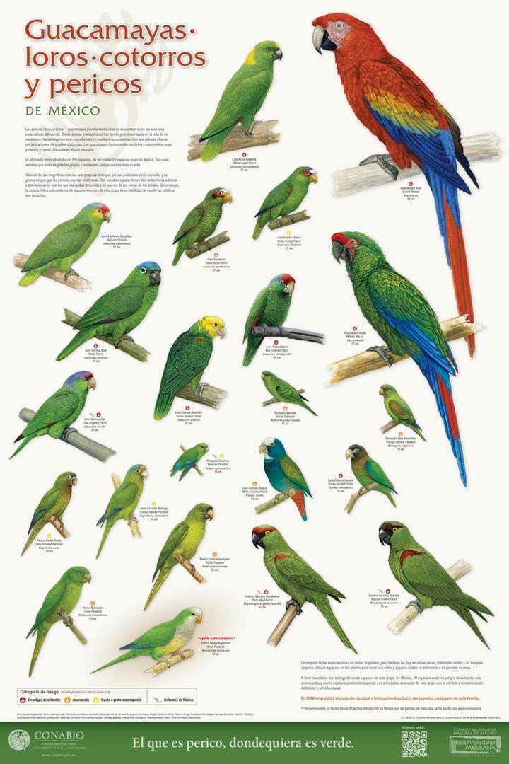 Cartel: Guacamayas, Loros, Cotorros y Pericos   Poster: Macaws, Parrots and Parakeets