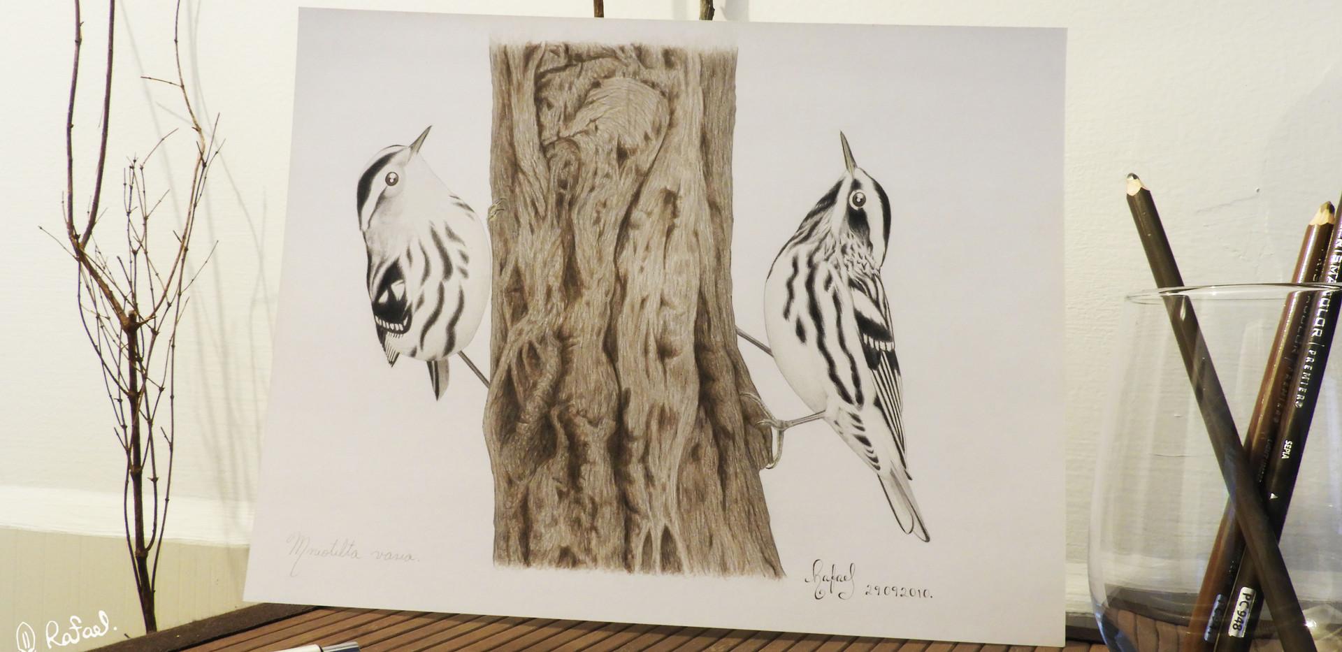 Chipe Trepador | Black-and-White Warbler