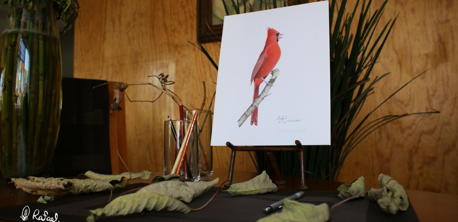 Cardenal Rojo | Northern Cardinal