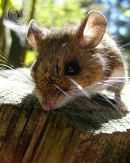 Ratón de campo (Peromyscus sp.)