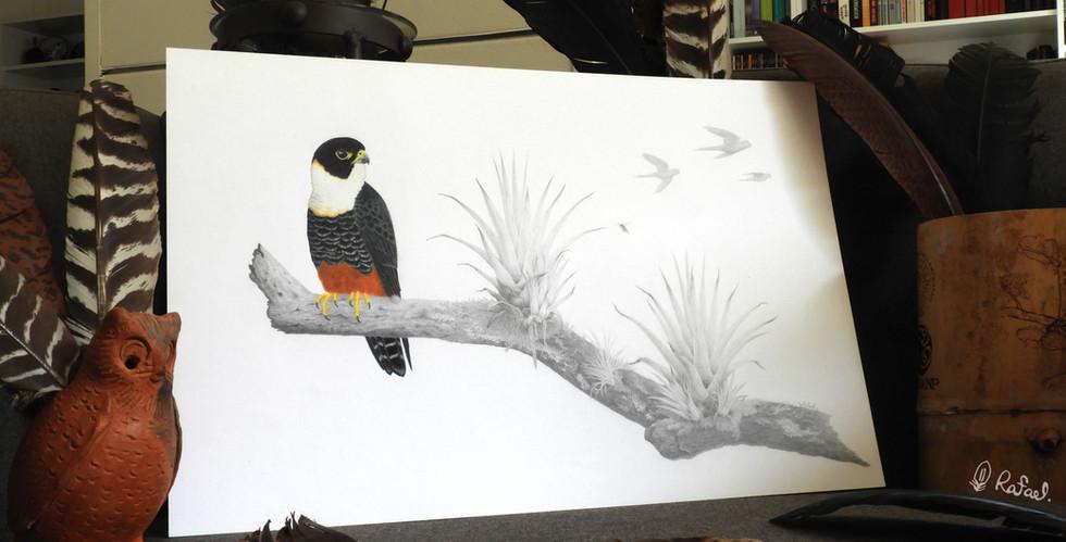 Halcón Murcielaguero | Bat Falcon