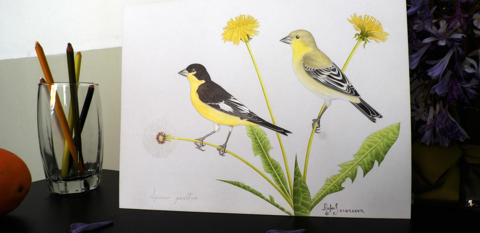 Jilguerito Dominico | Lesser Goldfinch
