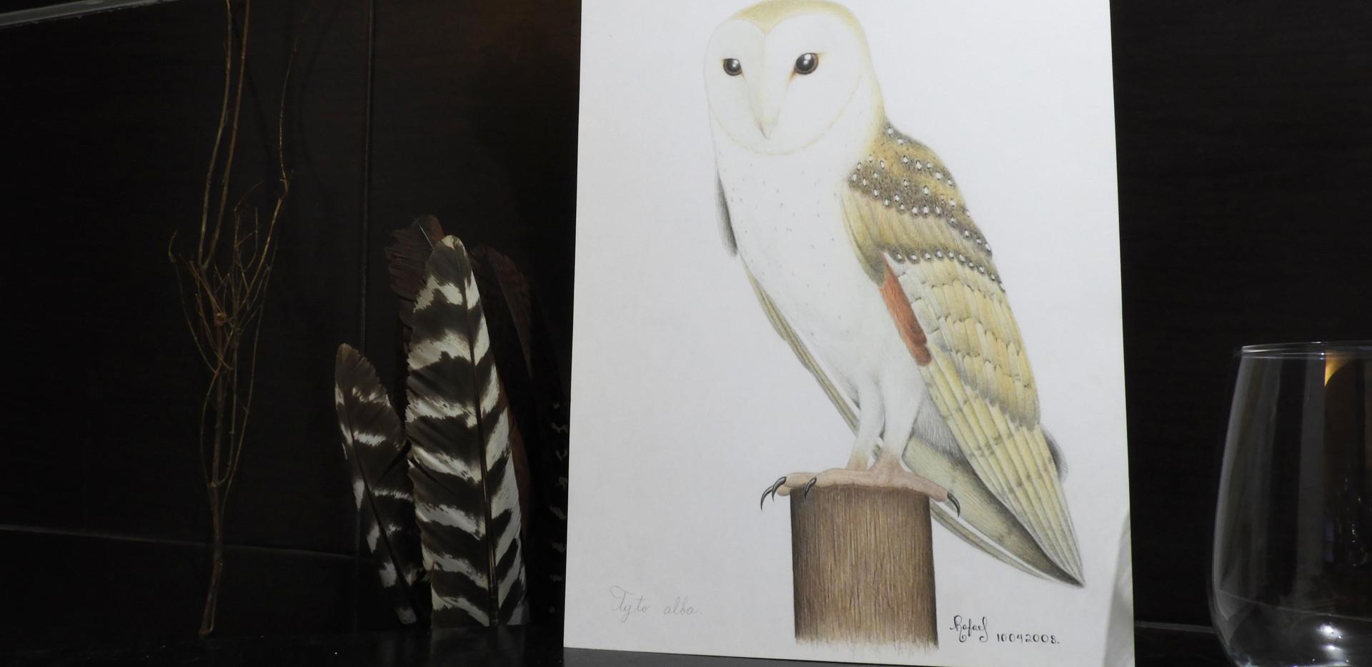 Lechuza de Campanario | Barn Owl