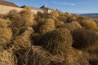 America's Tumbleweeds Are Actually Russian Invaders