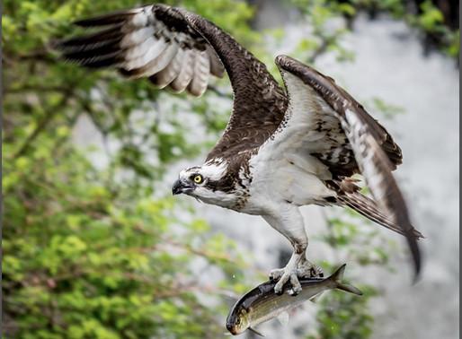 Ospreys back on the Cape!