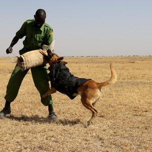 Anti-poaching dogs