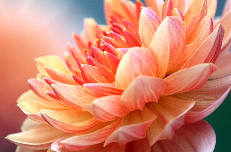 closeup-of-dahlia-flower-macro-studio-sh