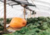 giant-pumpkin-2.jpg