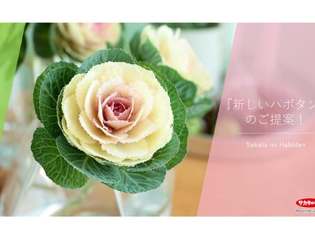サカタのタネのハボタン「円(まどか)春の宴®」「円(まどか)春の紅」