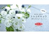 世界初!無花粉八重咲きトルコギキョウ「PF ダブル® スノー」