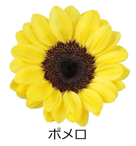 ポメロ かわいらしい丸い花びら。鮮やかなイエローカラー