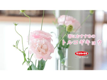 春におすすめのトルコギキョウ!ホワイト、ピンク、ラベンダー、グリーン