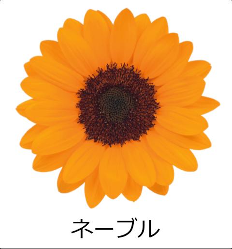 ネーブル スッキリしたシャープな花びら。シリーズの中で一番濃いオレンジ色