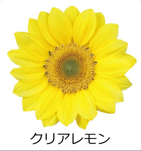 クリアレモン 透明感のある爽やかなイエローカラー。花の中心が緑色