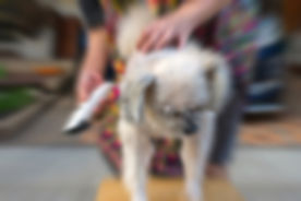 Blurred zoom of grooming and haircut the dog fur of beige dog so cute mixed breed with Shih-Tzu, Pom