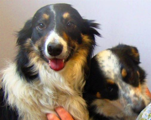 Collie girls saved by Homeless Hound
