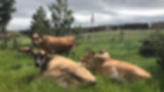 Dairy Cows Front Yard.PNG