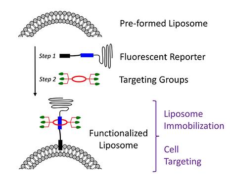 liposome PEGlation.png