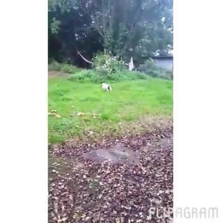 Jack russel terrier sligo after spinal surgery