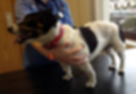 Jack Russel dog after spinal vet surgery in Ireland