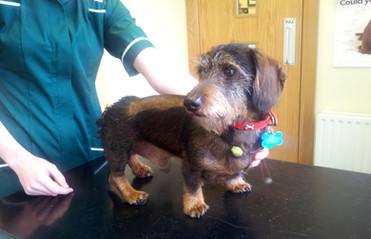 Dog after spinal disc surgery in his back