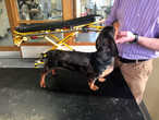 Dachshund dog walking 10 days after spinal surgery