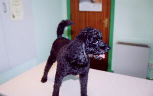Fully recovered Poodle dog after spinal vet surgery