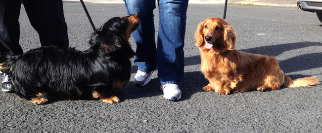 2 dachshunds walking well after spinal surgery in Northern Ireland