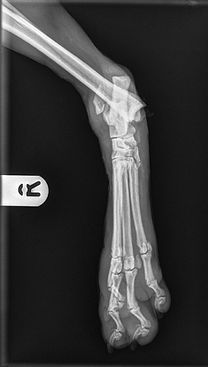 hock fracture luxation dislocation dog