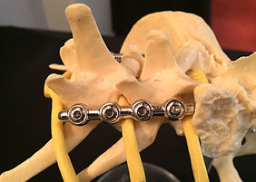 Vet model of spinal fracture surgery techniques 2
