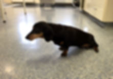 hindleg weakness in a dog with spinal disc disease