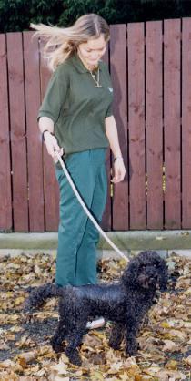 Poodle dog walking after spinal vet surgery