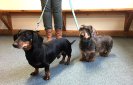 2 dachshunds after spinal surgery