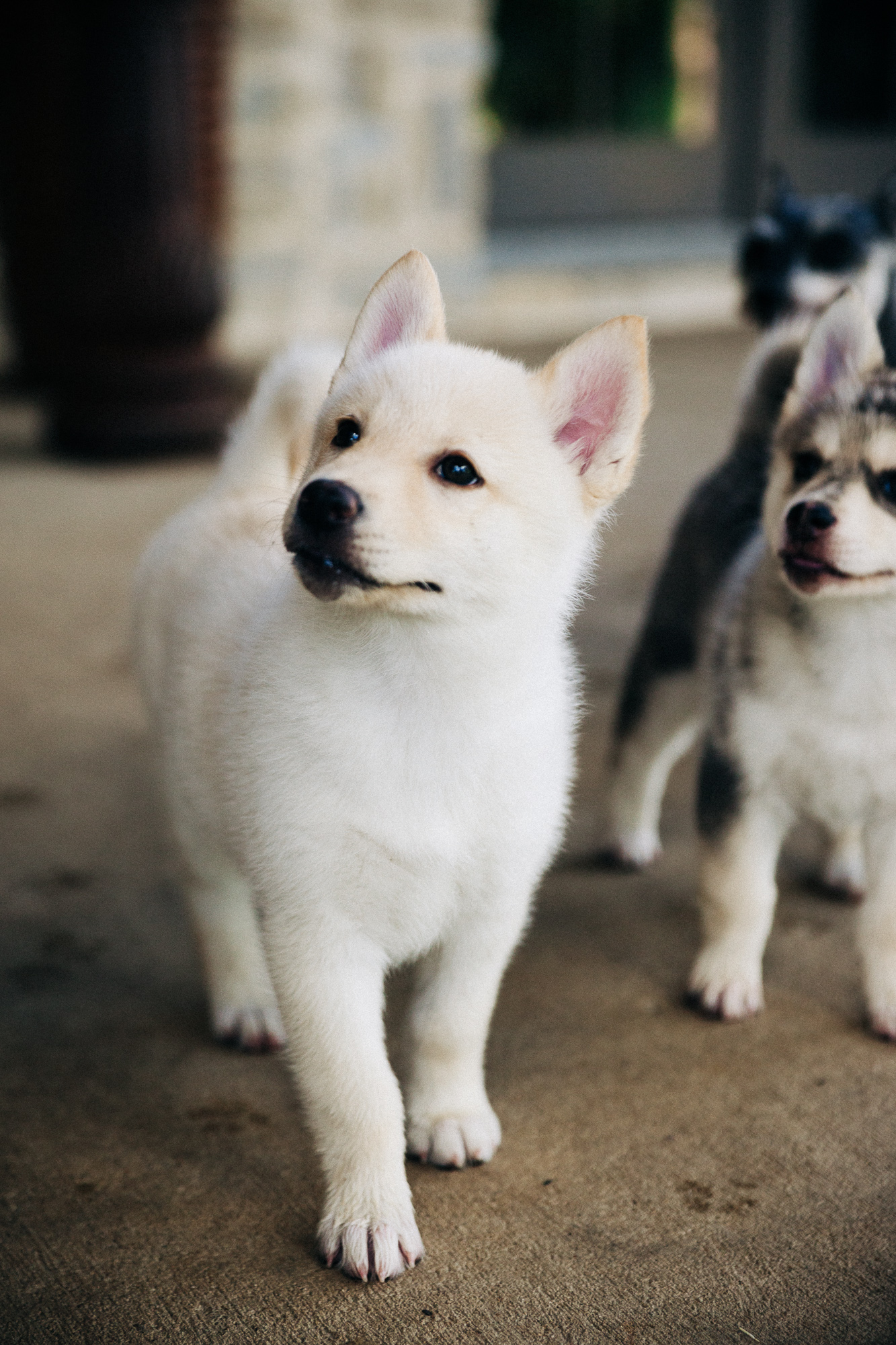 Adopt a Pomsky Puppy | United States | Ponderosa Pomskies