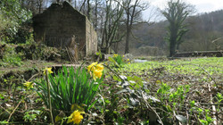 daffodil_and_cottage.jpg