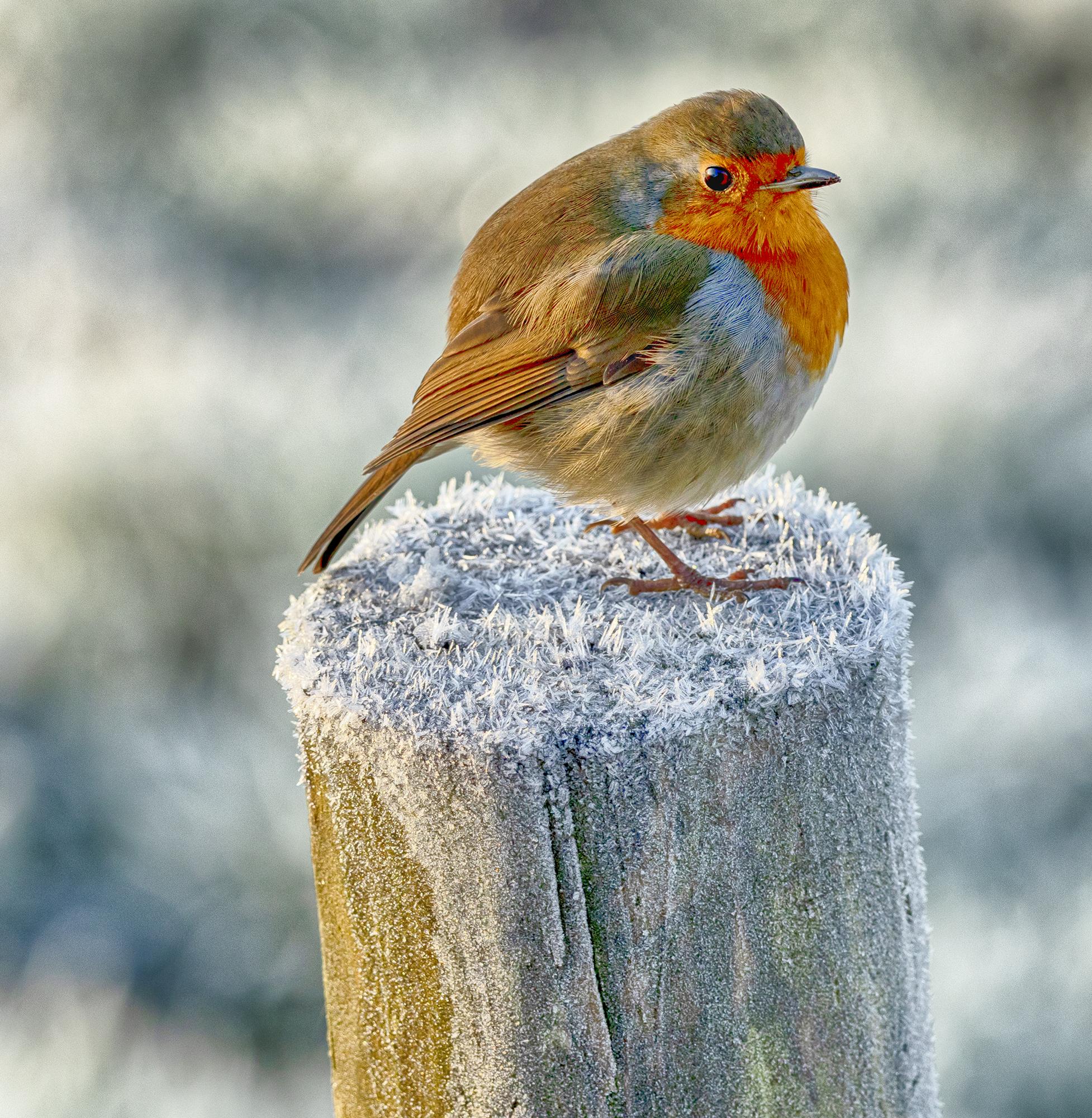 Fat Robin on a Frosty Stick