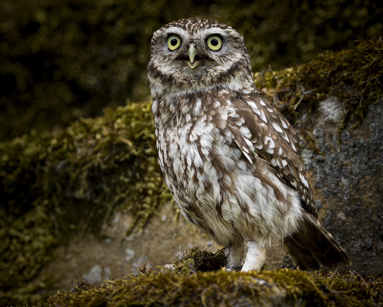 suprised owl