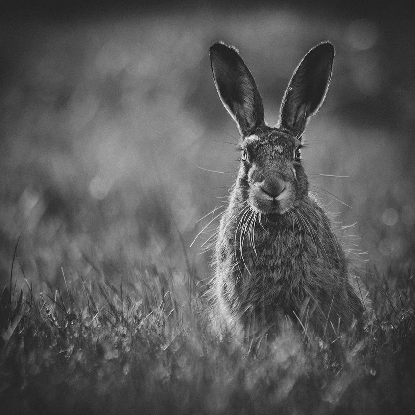 Solitary hare