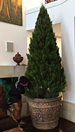 Real%20Christmas%20Tree%20Delivery_edite