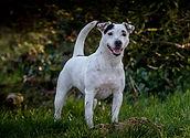 Foto van Penny ons Parson Russell Terrier teef