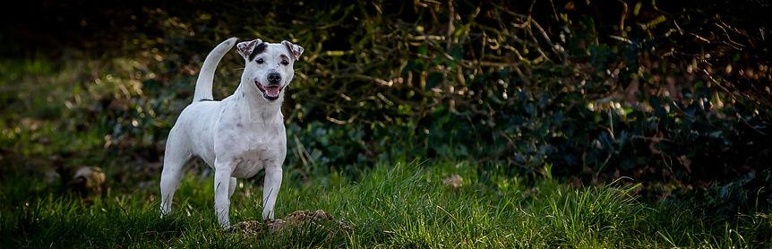 Foto van gladharige Parson Russell Terrier